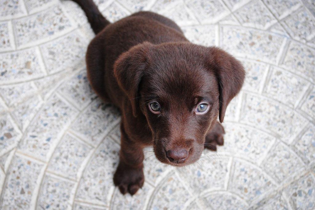 cachorro color chocolate
