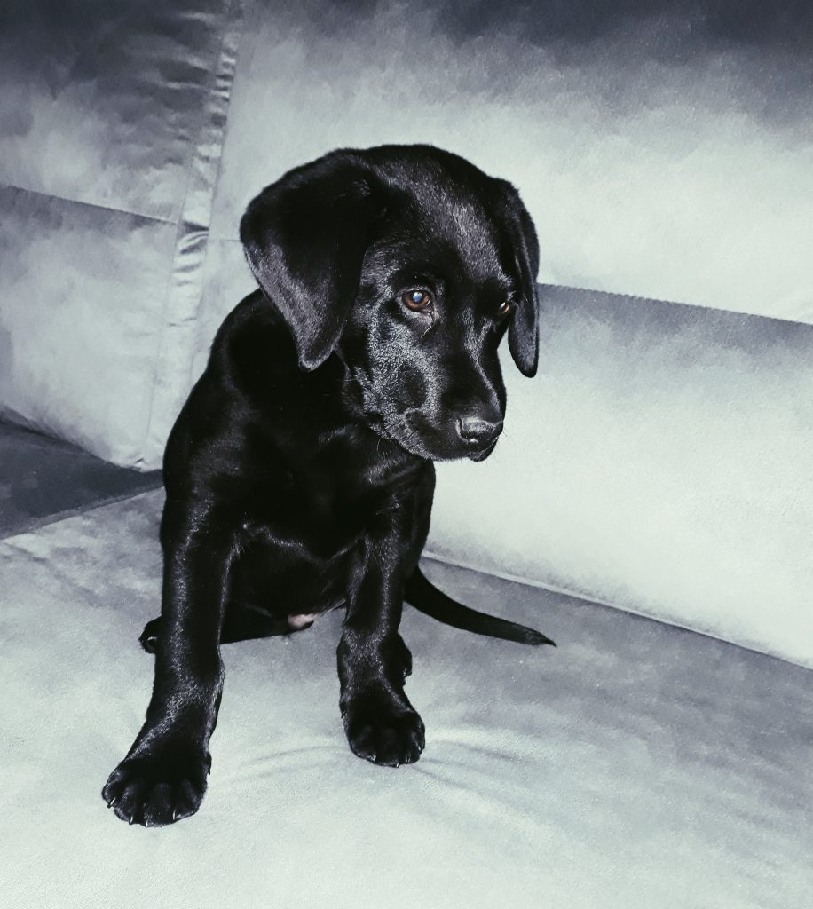 Cachorro negro de labrador