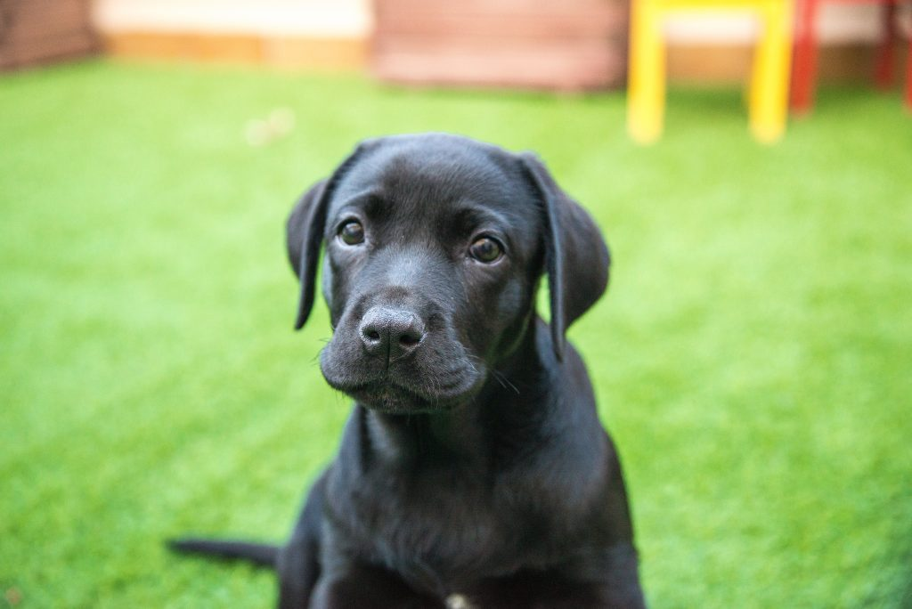 Labrador Retriever Negro