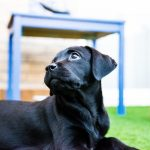Historia del Labrador Retriever