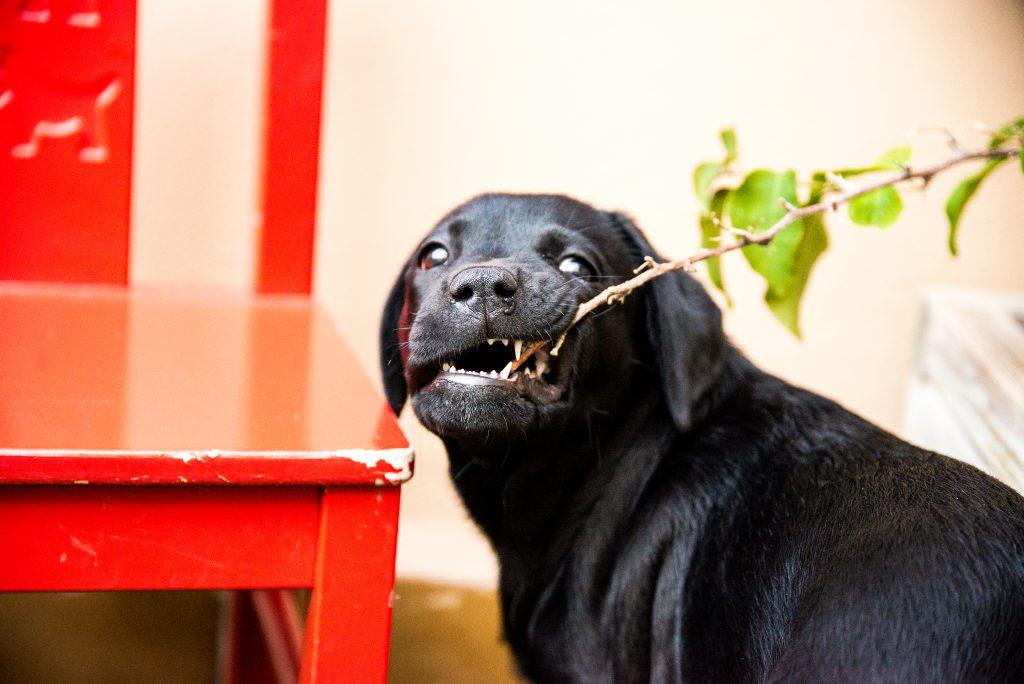 cachorro de labrador de color negro