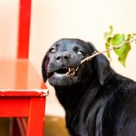 Cómo socializar a tu cachorro de labrador