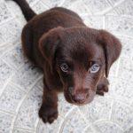 Labrador Chocolate - Guía completa del Labrador Retriever