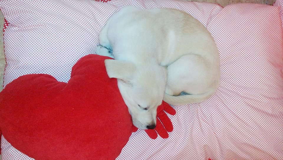 labrador blanco cachorro
