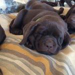 Fotos Labrador Retriever