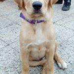 Mezcla de Golden Retriever y Labrador - ¿Conoces el Goldador?