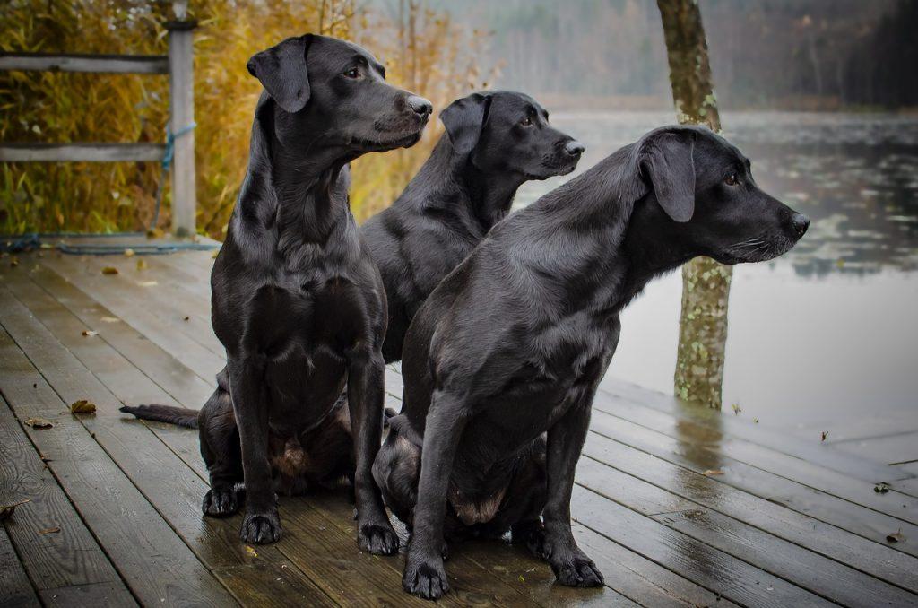 perros labrador negro