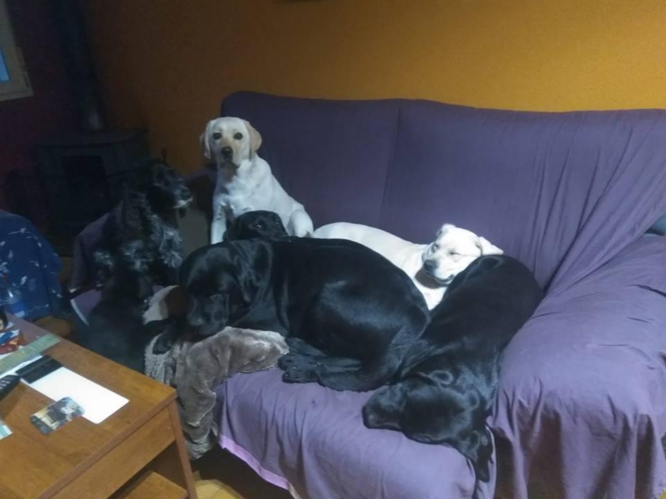 labradores en el sofá