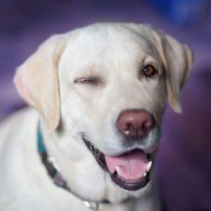 perro labrador blanco