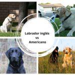 Labrador inglés vs americano - ¿Cuál es la diferencia?