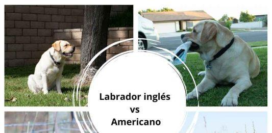 diferencias Labrador inglés vs Americano