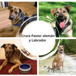 Cruce Pastor Alemán y Labrador