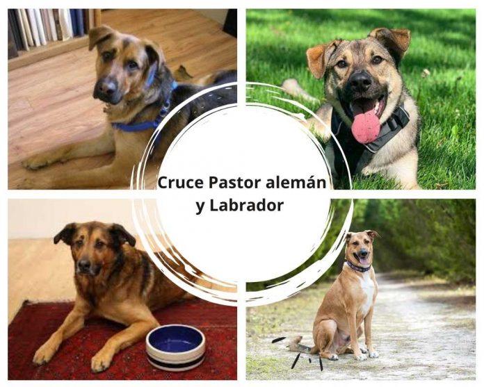 Cruce pastor aleman y labrador