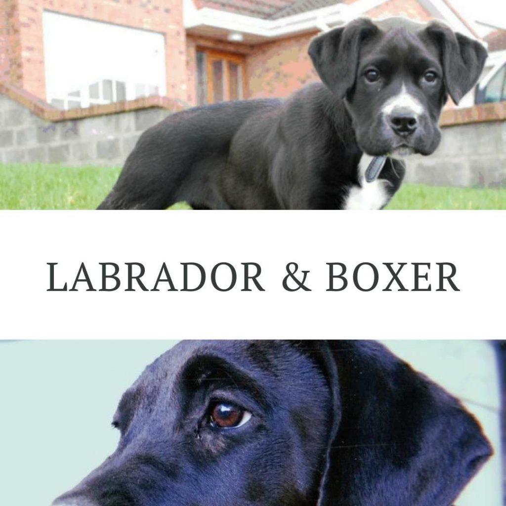 cruce boxer y labrador