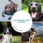 Cruce de Border Collie y Labrador - Guía completa del Borador
