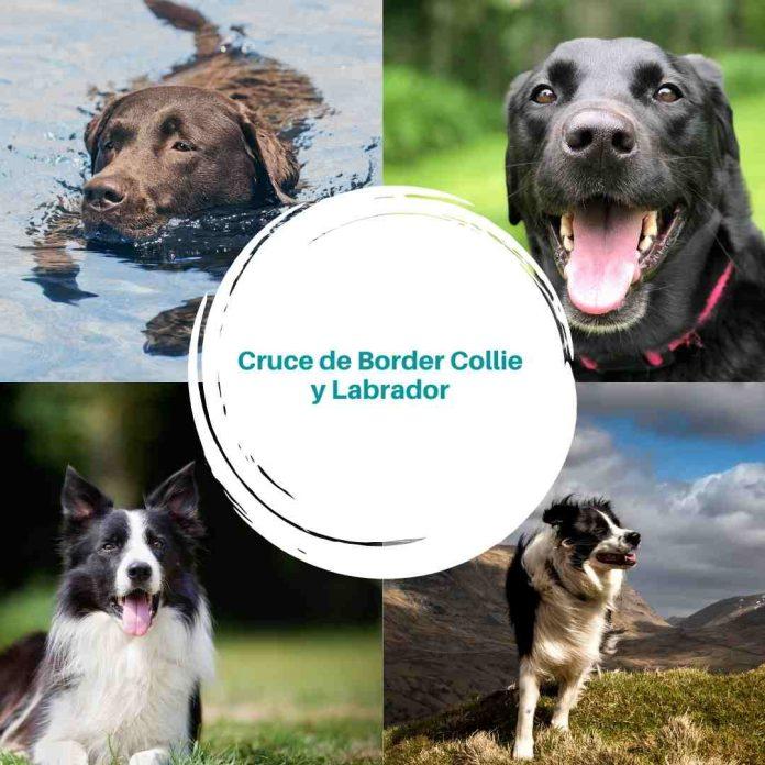 Cruce de Border Collie y Labrador