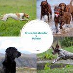 Cruce de Labrador y Pointer
