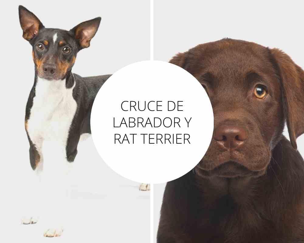 Cruce de Labrador y Rat Terrier