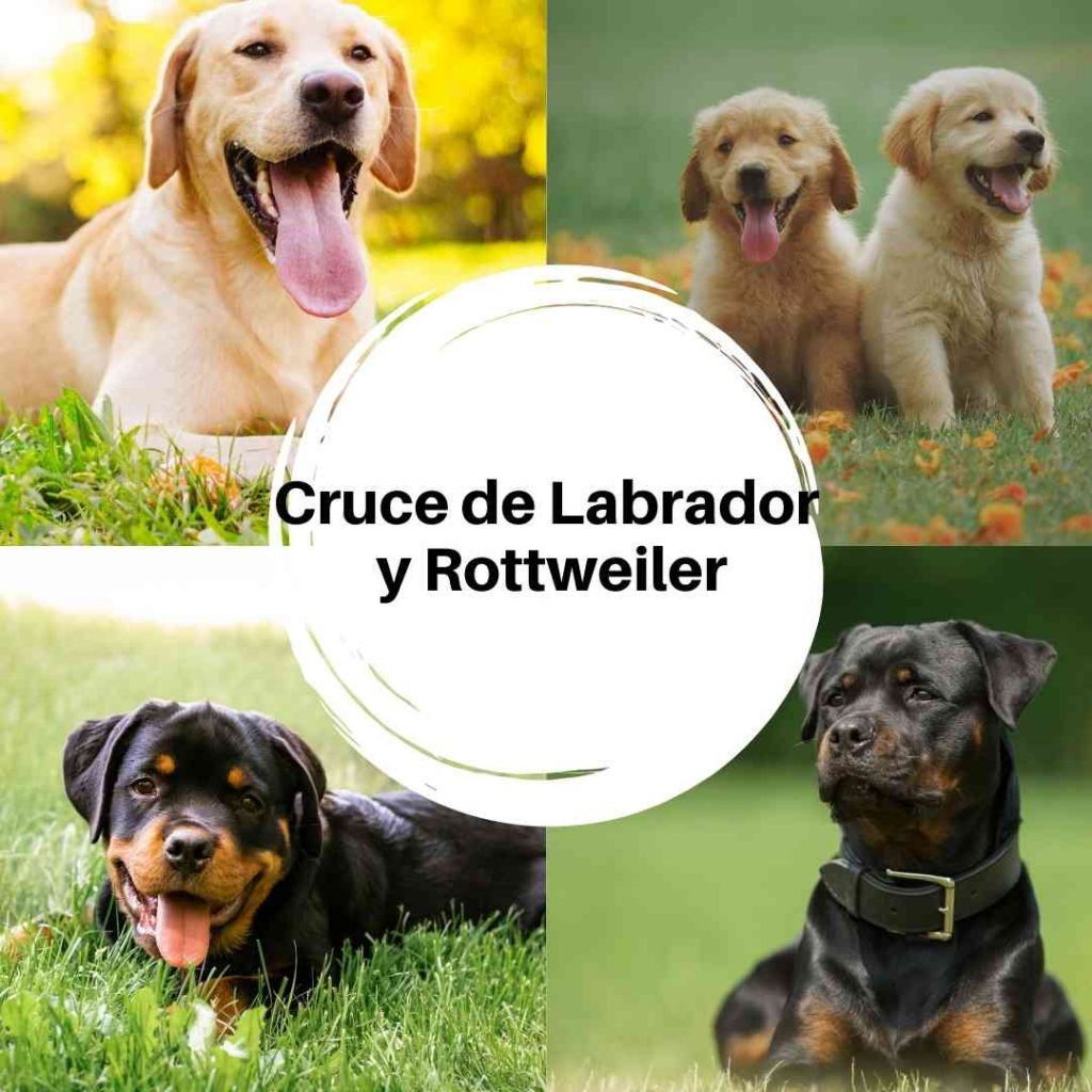 Cruce de Labrador y Rottweiler