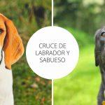 Cruce de Labrador y Sabueso - Guía completa para conocer este cruce.