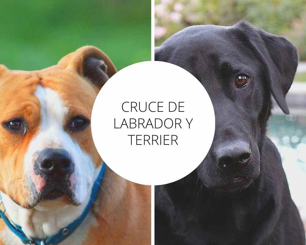 Cruce de Labrador y Terrier