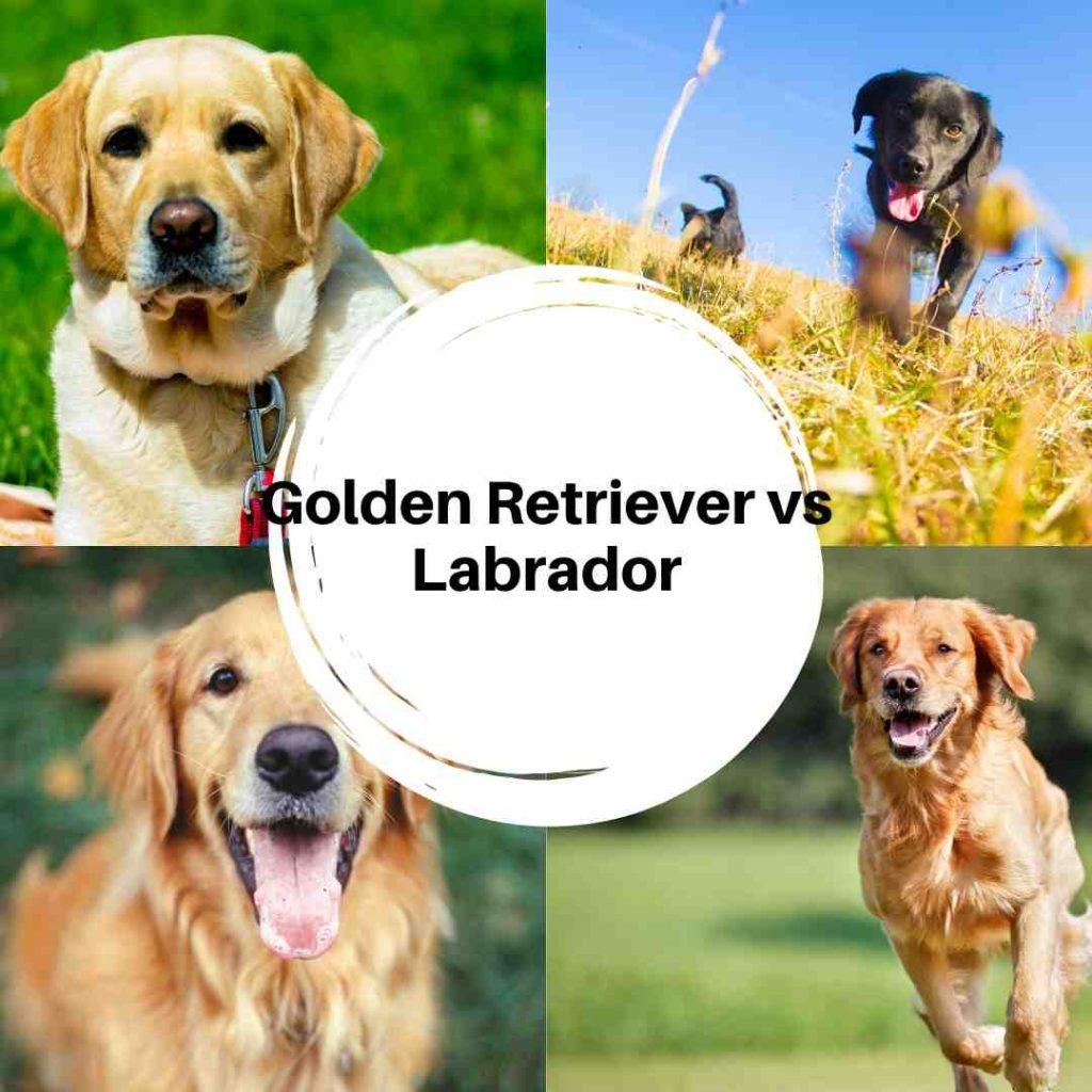 Golden Retriever vs Labrador