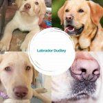 Labrador Dudley - El Labrador de Nariz Rosa