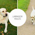 Labrador Inglés - Guía para el Labrador Retriever inglés