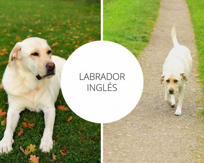 Labrador Inglés