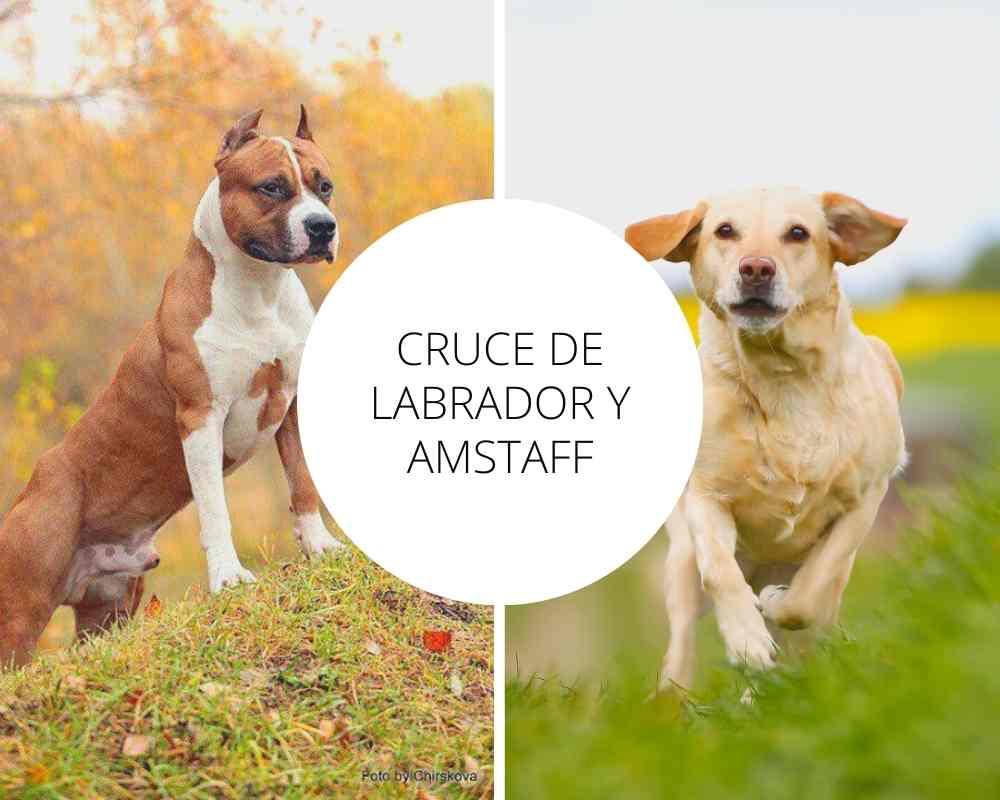 Cruce de Labrador y Amstaff