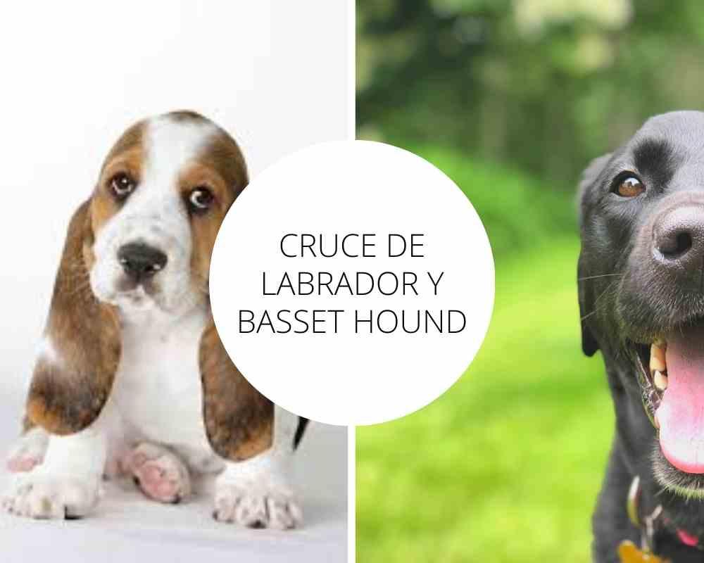 Cruce de Labrador y Basset Hound