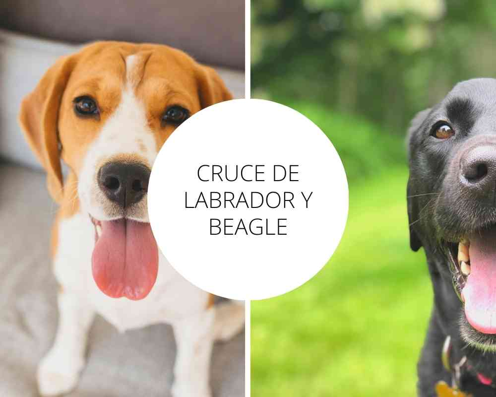 Cruce de Labrador y Beagle