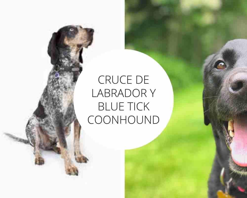 Cruce de Labrador y Blue Tick Coonhound