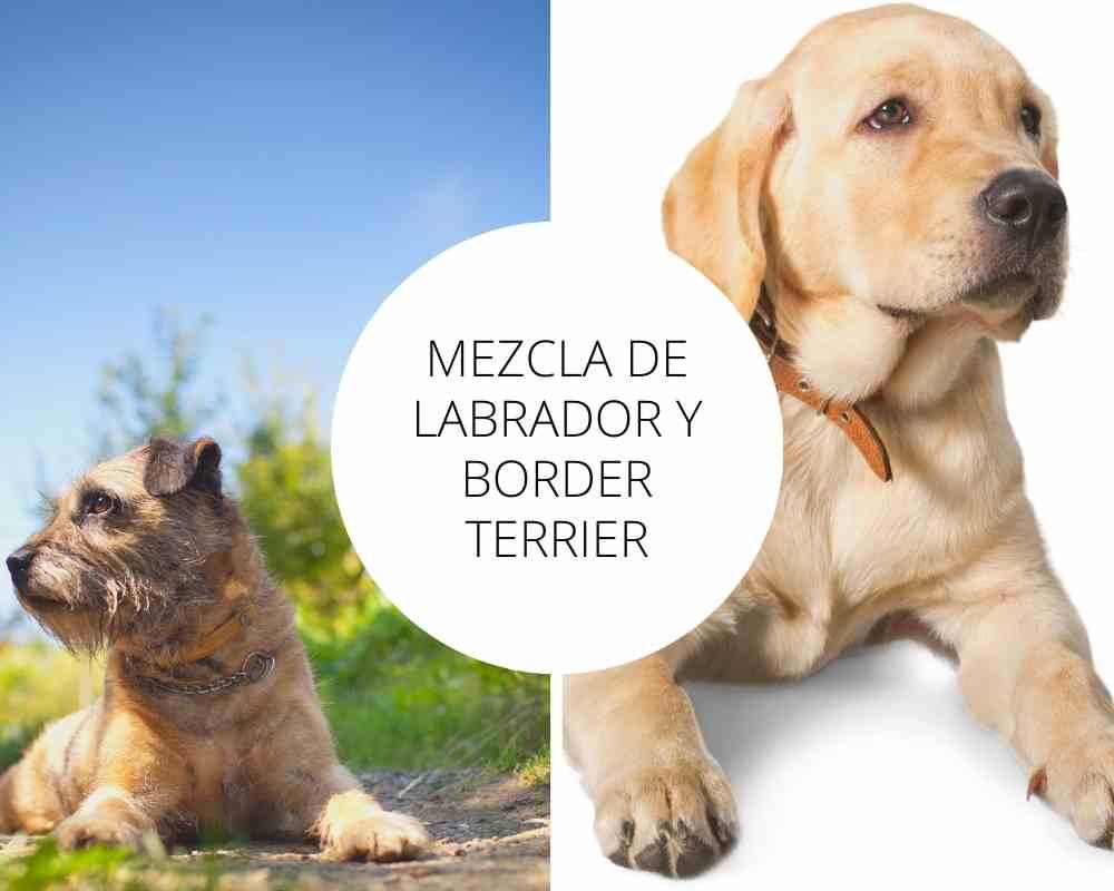 Mezcla de Labrador y Border Terrier