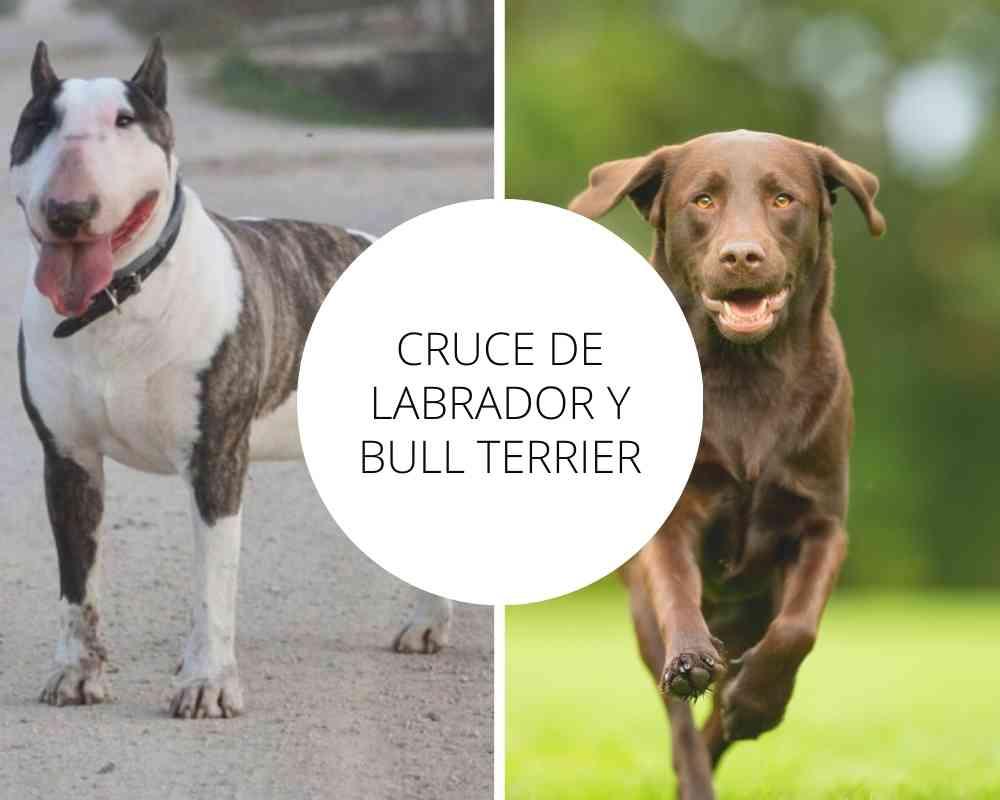 Cruce de Labrador y Bull Terrier