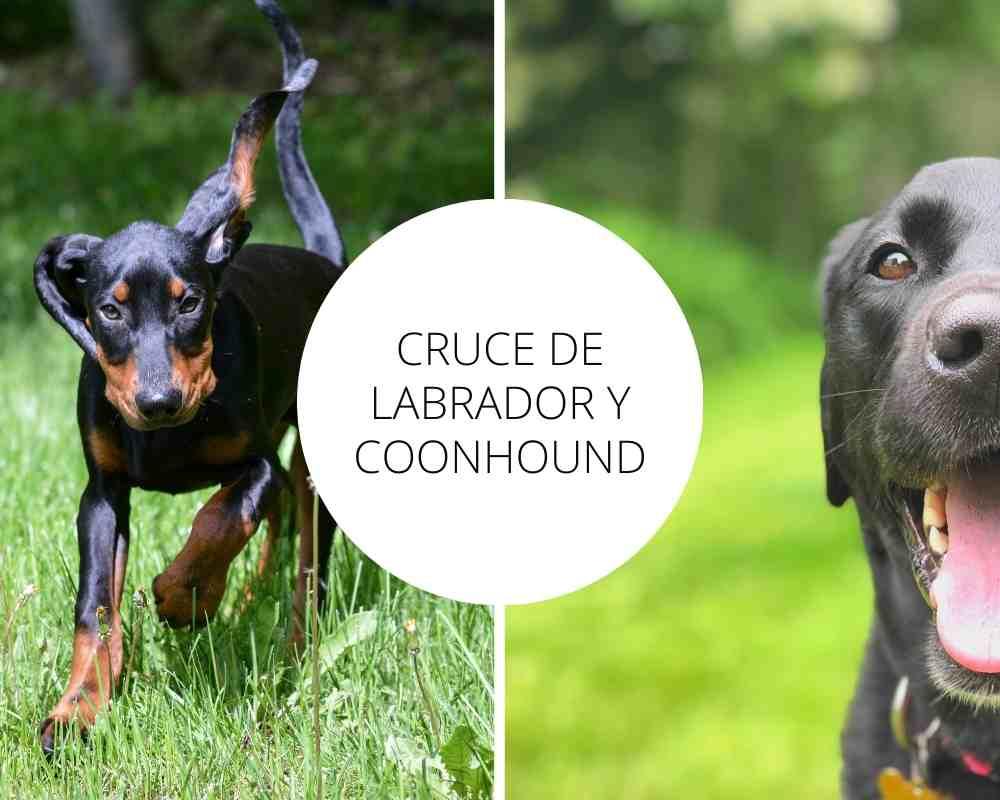 Cruce de Labrador y Coonhound