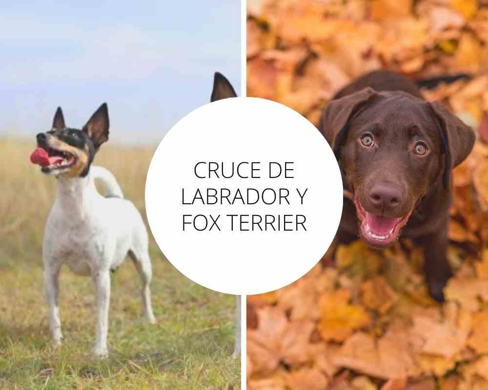 Cruce de Labrador y Fox Terrier