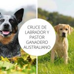 Cruce de Labrador y Pastor ganadero australiano