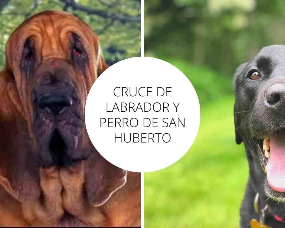 Cruce de Labrador y Perro de San Huberto