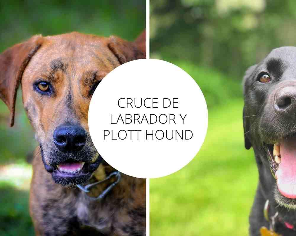 Cruce de Labrador y Plott Hound