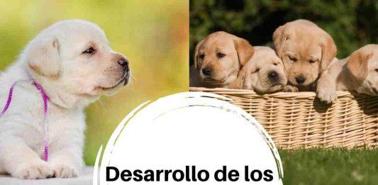 crecimiento de un perro labrador