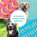 ¿Los perros pueden comer plátanos? Una guía completa de bananas para perros