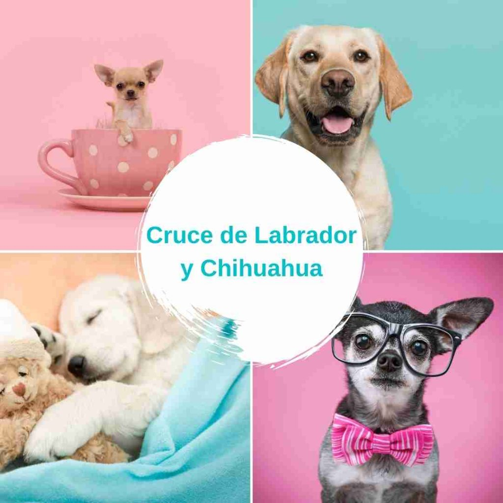 Cruce de Labrador y Chihuahua