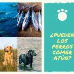 ¿Pueden los perros comer atún? ¿Es el atún bueno para los perros?