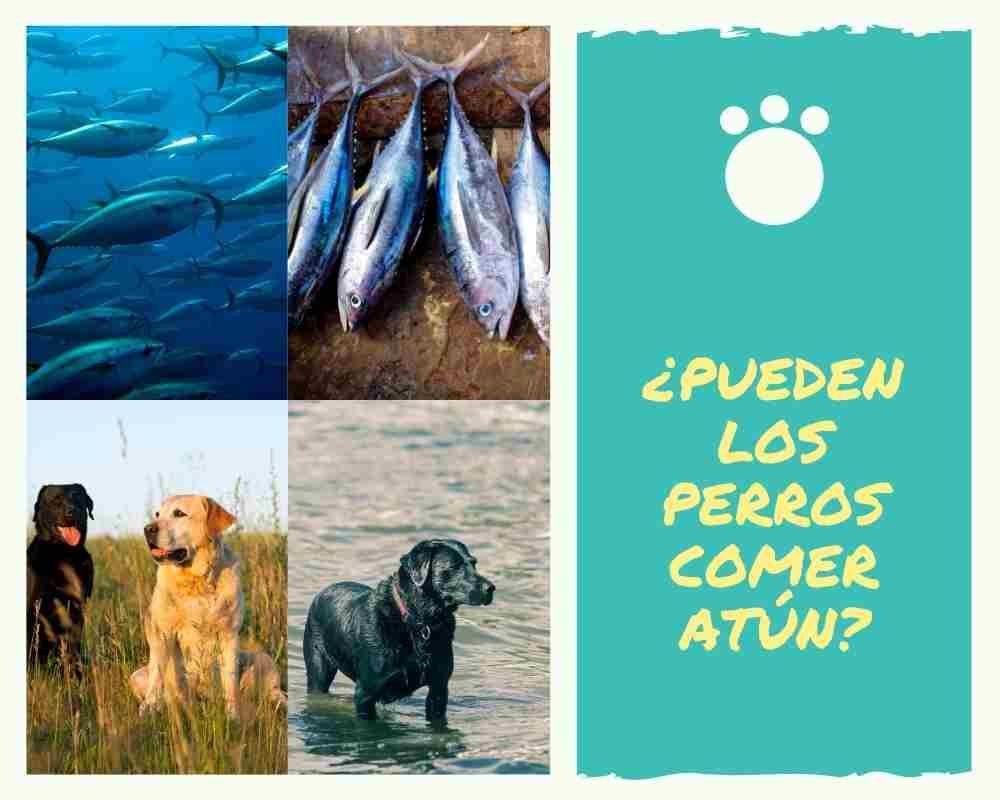 Los perros pueden comer atún