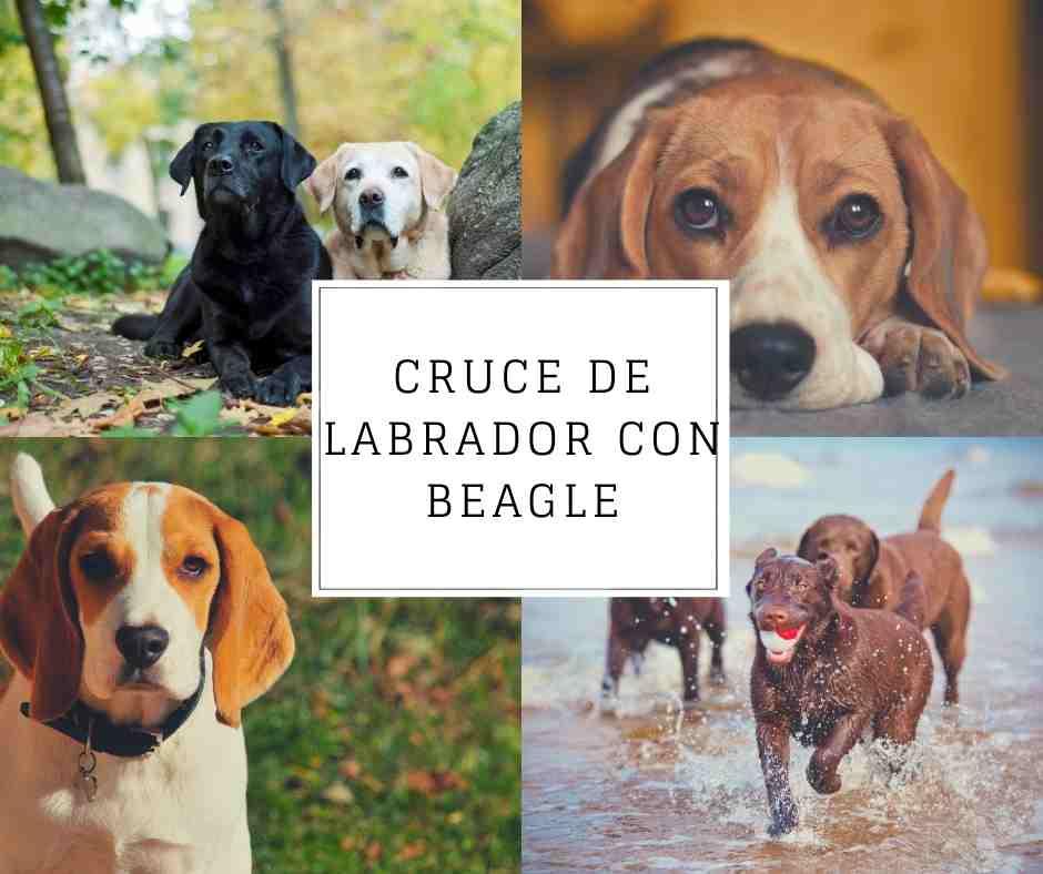 Cruce de Labrador con Beagle