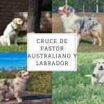 Cruce de pastor australiano y labrador