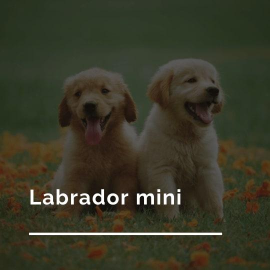 Labrador mini