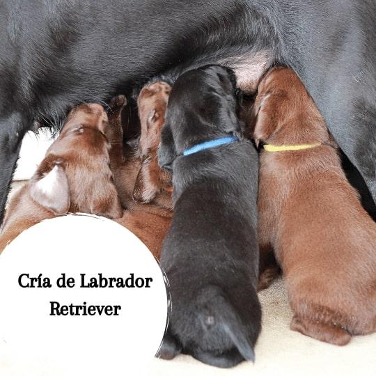 Cría de Labrador Retriever