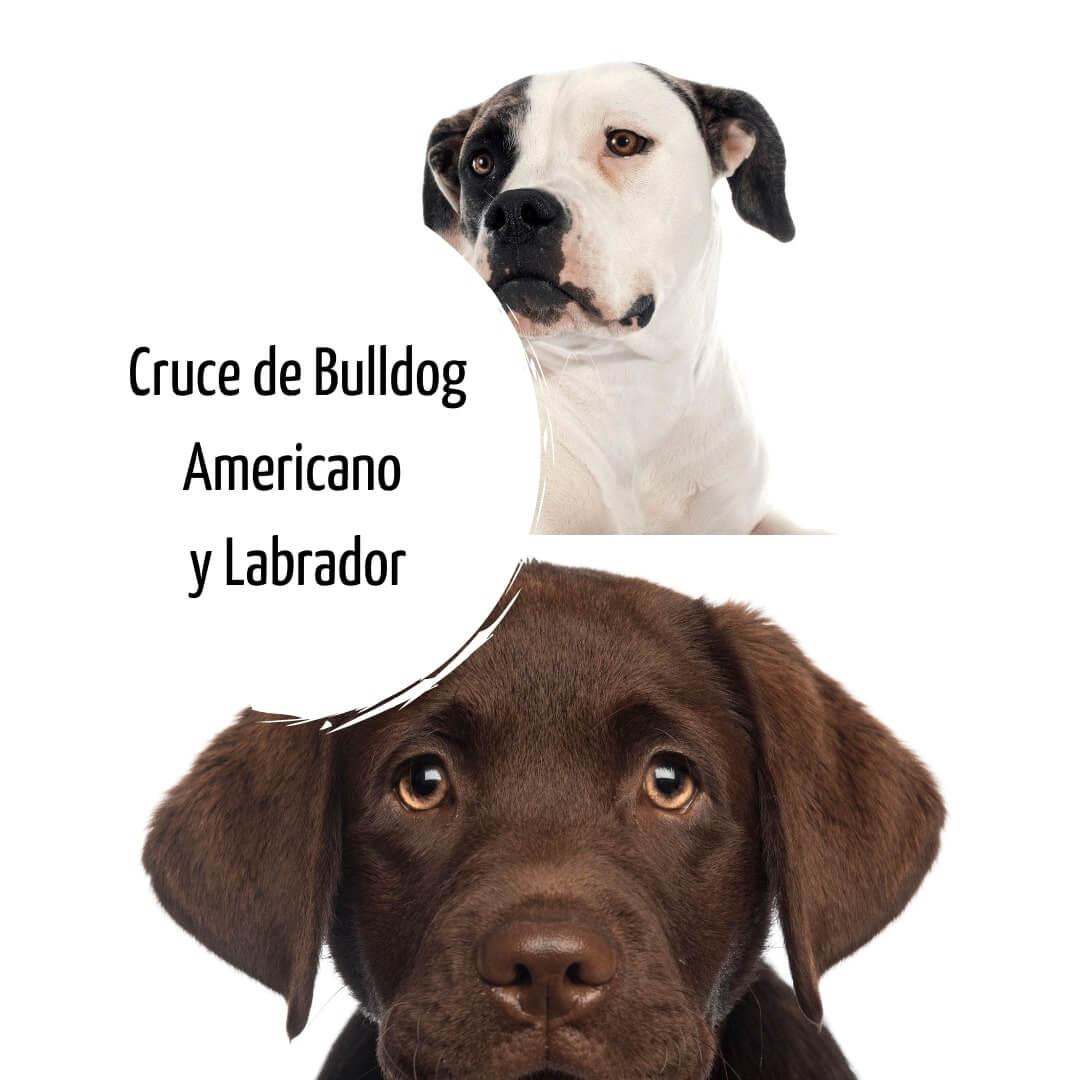 Cruce de Bulldog Americano y Labrador